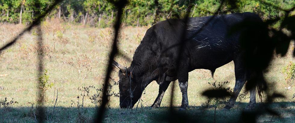 Stiere im Nationalpark der Camargue