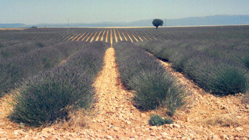 Lavendelfelder in der Haute-Provence