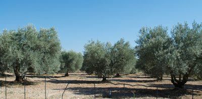 chateau-estoublon-alpilles-olivenbäume