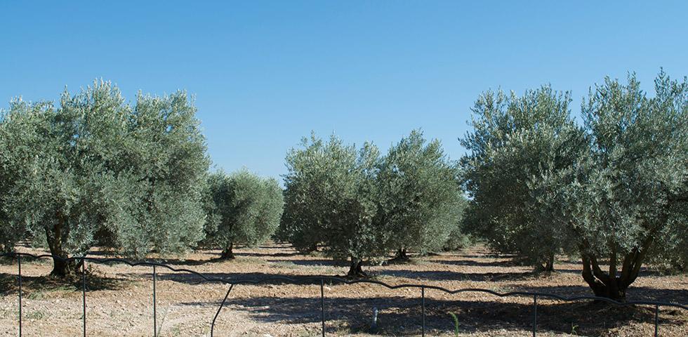 Olivenbäume Olivenöl Château d'Estoublon