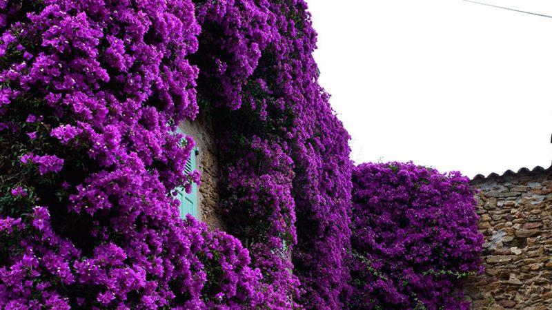 bormes-les-mimosas-provence-kletterpflanzen