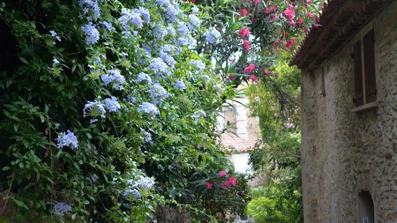 bormes-les-mimosas-blumen-mimosenblüte