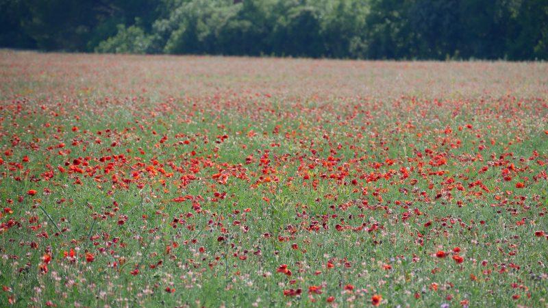 Mohnfelder in der Provence
