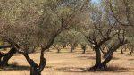 Olivenbäume Provence